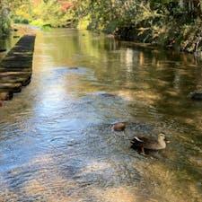 三島 源兵衛川水辺の散歩道②