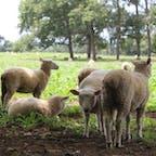 羊に狙われる🇳🇿🐑ニュージーランド🐏