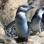 コガタペンギン/杜の水族館