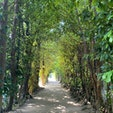 [沖縄] 備瀬のフクギ並木
