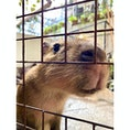 草津熱帯園   人懐っこいカピパラさんがフェンス越しにやってきてくれます★ 餌をあげることや触ることもできますよ!