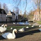 愛の湖、 想像していた数以上の白鳥が😳  ブルージュ市民に臣下を処刑されたマクシミリアン。 その罰として、臣下の紋章である白鳥を放ち、世話をするように命じたという伝説が。 白鳥は泳いだり、羽繕いしたり、ゆったりと過ごしてました🦢