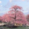 鈴鹿の森庭園:昨日、開園。さっそく行ってきました。 こちらの梅は「呉服(くれは)」という品種らしいです。素晴らしい枝垂梅❣️ 行ってよかった☺️