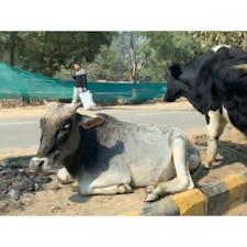 2020年1月25日 #インド 犬や牛や豚や猿... いろんな動物が人と共存している ☺︎