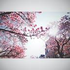 ❏熱海市  ✍︎あたみ桜 糸川桜まつり  20202.8~9