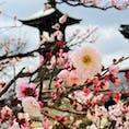 宝塚市中山寺。 梅が見頃、梅まつり😆