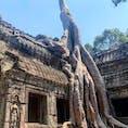 #タ・プローム #シェムリアップ #カンボジア 2020年2月  もはや根なのか幹なのか...樹木の生え方が自由すぎる🌳