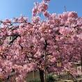 淀の河津桜🌸 お天気も良くて満開でしたぁ😊