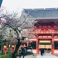 京都 八坂神社 桜が丁度よい。白色の桜。