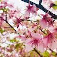京都 淀水路の河津桜 3.14で既に大部分が葉桜。見頃はもう少し前かも。