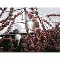 京都 城南宮 梅が咲いていました🌸