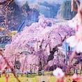 樹齢1,000年の貫禄!三春の滝桜