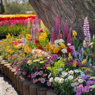 チューリップでいっぱいだったあしかがフラワーパーク。チューリップも鮮やかできれいだったけど、こういう小さな花々の寄せ植えも春らしくて素敵。