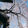 三年坂 『桜』お見事 👏