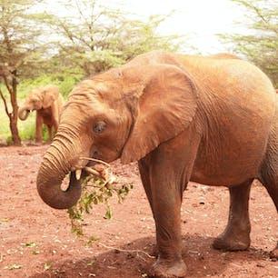 象の孤児院 象は群をなして生活するため孤立している赤ちゃんは自然界で生きていくことができないそうです。 そういった赤ちゃんを保護して、再度群に戻す活動をしているケニアの慈善団体を見学してきました。  象がすぐそばまで来てくれるし自然界の象さんは動物園にいる象とはどこか違ってたくましさを感じることができます