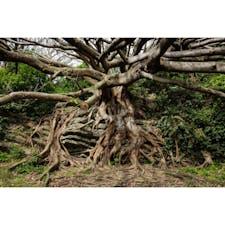 高知県 〜アコウの木〜 室戸岬の場所にあります。