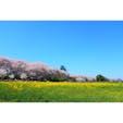 幸手権現堂桜堤 桜のトンネルと菜の花のコントラスト