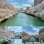 門前仲町 大横川の桜