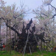 神代桜🌸@山梨  日本三大桜の内の1本です😊