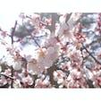 【金沢】兼六園  あんまり満開というほどではなく ちょっと散りかけていたけど 満開感満載の写真  #金沢° #電車旅 #青春18切符 #青春18切符旅 #2020/03/21