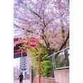 通勤路でパシャリ 桜と運転手さん