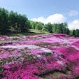 今年の芝桜 北海道 倶知安の風物詩