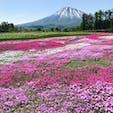 本日の芝桜 北海道 倶知安 2日前より更に綺麗 羊蹄山もばっちり