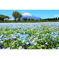 花の都公園 富士山とネモフィラ畑 2018.05