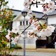 倉敷美観地区の桜雨。