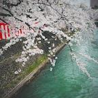 2016.04.04  in 前橋公園🌸  満開のソメイヨシノ。 早く外に出たいね