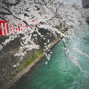 2016.4.4  in 前橋公園🌸  満開のソメイヨシノ。 早く外に出られることを祈って。