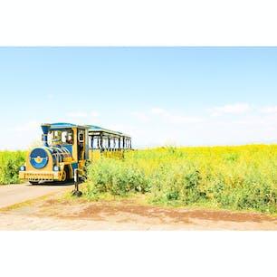 長井海の手公園 ソレイユの丘 神奈川県 横須賀市  4月頃は 10万本の菜の花とロードトレイン ソレイユ号の競演が写真に納められます!