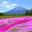 羊蹄山と芝桜のコラボレーションが楽しめる北海道倶知安町「三島さんの芝桜庭園」。例年は6月上旬から中旬に見頃を迎えますが、今年は新型コロナ感染拡大防止のため、残念ながら一般公開されません。来年はみんなが楽しめますように!#北海道 #倶知安町 #三島さんの芝桜庭園