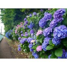 【東京】王子  飛鳥の小径  ここ何ヶ月かずっと在宅だったから忘れてたけど 今紫陽花の時期なんだった  去年は毎日通勤電車から眺めてたここの景色 埼玉から東京に行く電車からは必ず見えるので、 見たことある方もいるのではないでしょうか 私も毎朝癒されてました  あまりに綺麗すぎて わざわざ休日朝一で写真撮りに行った  #東京 #王子 #飛鳥山公園 #飛鳥の小径 #紫陽花 #2019/06/08