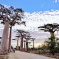 マダガスカル、バオバブ街道。