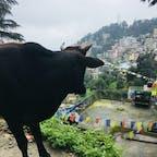 インド、ダラムサラ。 野良牛だらけの散歩。