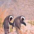 南アフリカ、ケープタウンのシンクロケープペンギン。