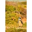 南アフリカ、ケープタウン。 山火事で放心状態のケープペンギン。
