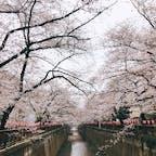 📍Tokyo,Japan  #東京 #目黒川 #目黒川の桜並木 #桜