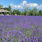ファーム富田のラベンダー畑。早咲きも遅咲きもどちらの品種も見られる良い時期でした👀あたりに漂う香りも癒やし。 #ファーム富田