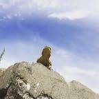 インド、ラダックのヒマラヤ山脈の中の崖の真っ赤なほっぺのトカゲ。