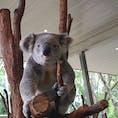 オーストラリア ブリスベンにあるローンパイン動物園。 コアラの飼育数世界一で至るところでみることができます。