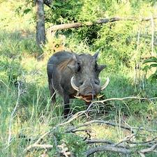 スワジランド、フラネ国立公園。 イボイノシシちゃん。顔がコミカル過ぎてほんとカワイイ。