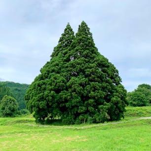 通称「トトロの木」  一番左側のベンチがベストポジションです。