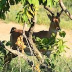 スワジランド、フラネ国定公園。 このレイヨウ類はインパラのオス。 アカバシウシツツキがお尻をつついてました。