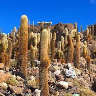 ボリビア、ウユニ塩湖近くのサボテンの島。