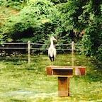 こんな大きな鳥が井の頭公園にいました。