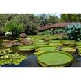 滋賀県 〜草津市立水生植物公園みずの森〜 パラグアイオニバスがたくさん 水面に浮かんでいます。 このハスは30キロ位の子供なら 上に乗ることが出来るんです! この場所でもイベントで 乗せてくれる日があるみたいですよ!