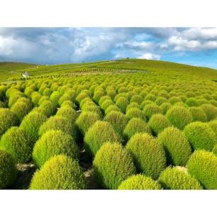 茨城県 〜国営ひたち海浜公園〜 この場所は施設内の《みはらしの丘》に 植えてあるコキアという植物です。 夏は緑色ですが、秋の10月中旬には 真っ赤に染まりとても見応えの あるものになります。 春はネモフィラ畑になるので また違った絶景を楽しめますよ。