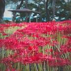 彼岸花が見事に群生してた羽黒山公園。花を植えてるんじゃなくて自生しているそう。 #羽黒山公園